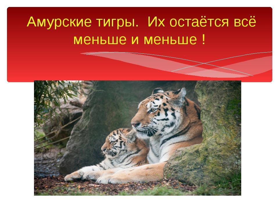 Амурские тигры. Их остаётся всё меньше и меньше !