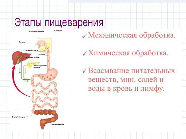 Этапы пищеварения