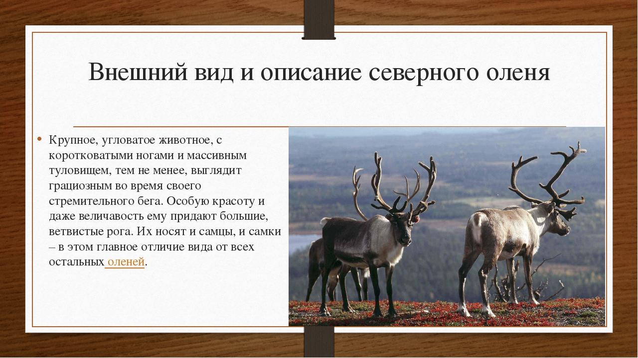 фото все об оленях фото описание видов полагают