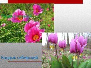 Пион степной Кандык сибирский