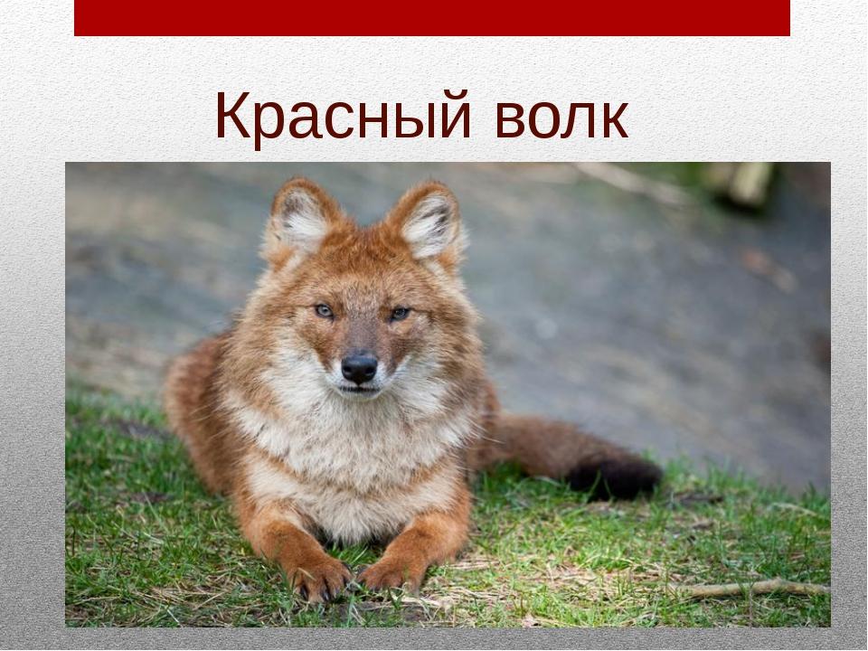 красный волк фото и описание