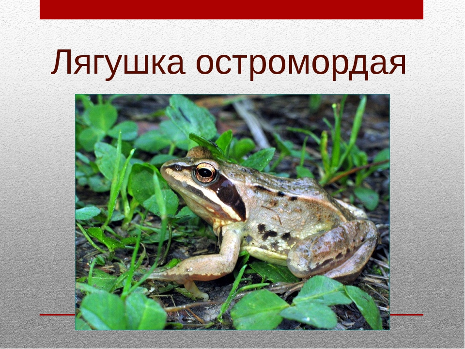 Лягушка остромордая