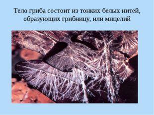 Тело гриба состоит из тонких белых нитей, образующих грибницу, или мицелий Пе