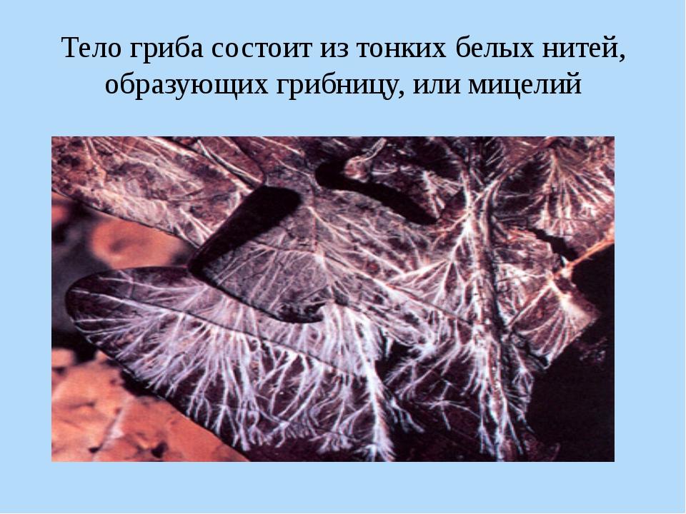 Тело гриба состоит из тонких белых нитей, образующих грибницу, или мицелий Пе...