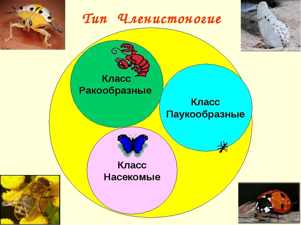 Тип Членистоногие Класс Ракообразные Класс Паукообразные
