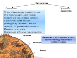 Цитоплазма Митохондрия Ядрышко Это основное вещество цитоплазмы. Она предста