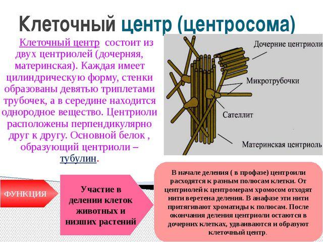 Клеточный центр (центросома) Клеточный центр состоит из двух центриолей (доче...