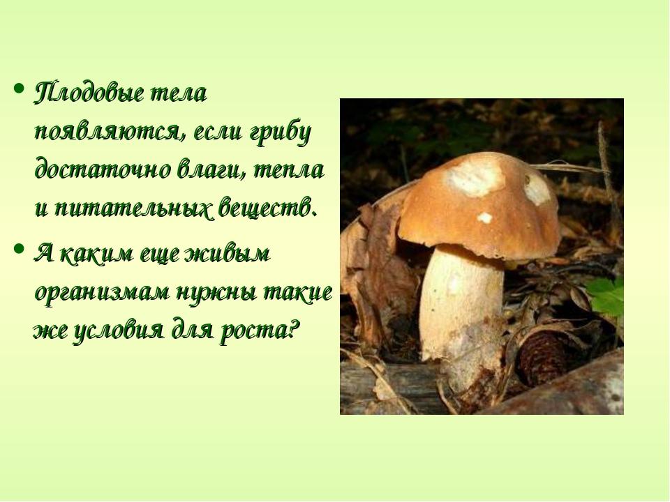 Плодовые тела появляются, если грибу достаточно влаги, тепла и питательных ве...