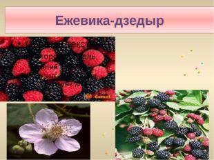 Ежевика-дзедыр