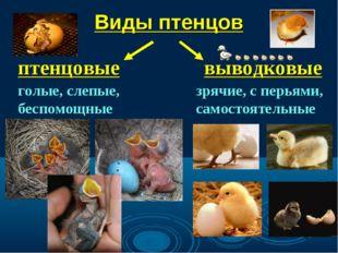 Виды птенцов птенцовые выводковые голые, слепые, беспомощные зрячие, с перьям