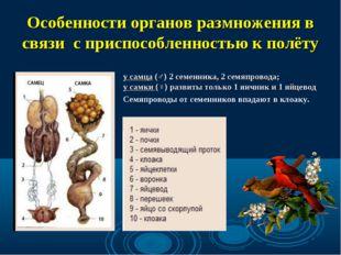 Особенности органов размножения в связи с приспособленностью к полёту у самца