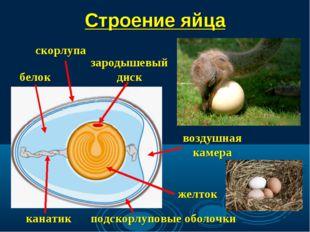 Строение яйца зародышевый диск скорлупа воздушная камера подскорлуповые оболо