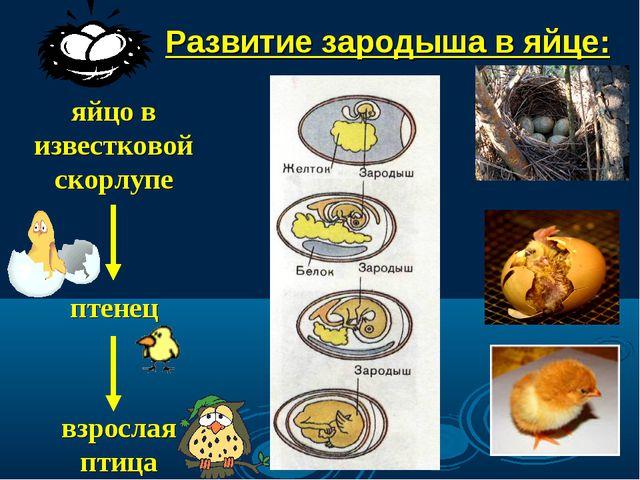 Развитие зародыша в яйце: яйцо в известковой скорлупе птенец взрослая птица