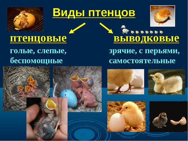 Виды птенцов птенцовые выводковые голые, слепые, беспомощные зрячие, с перьям...