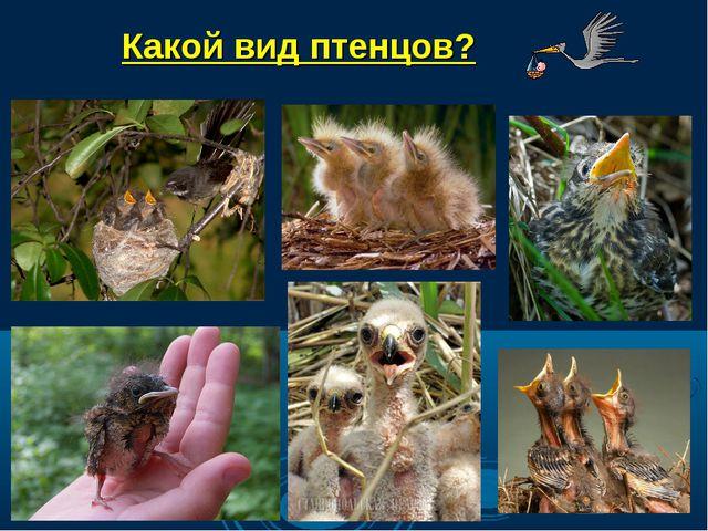 Какой вид птенцов?