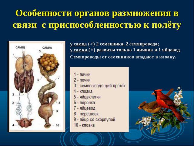 Особенности органов размножения в связи с приспособленностью к полёту у самца...
