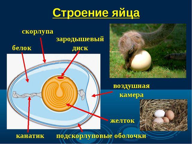 Строение яйца зародышевый диск скорлупа воздушная камера подскорлуповые оболо...
