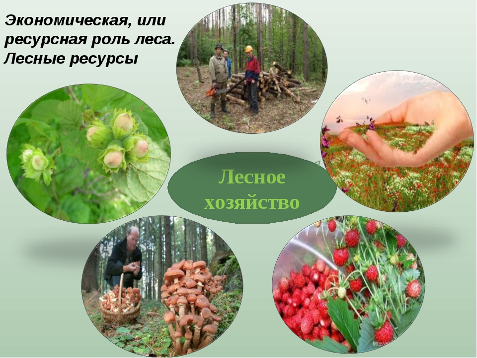 Лесное хозяйство Экономическая, или ресурсная роль леса. Лесные ресурсы