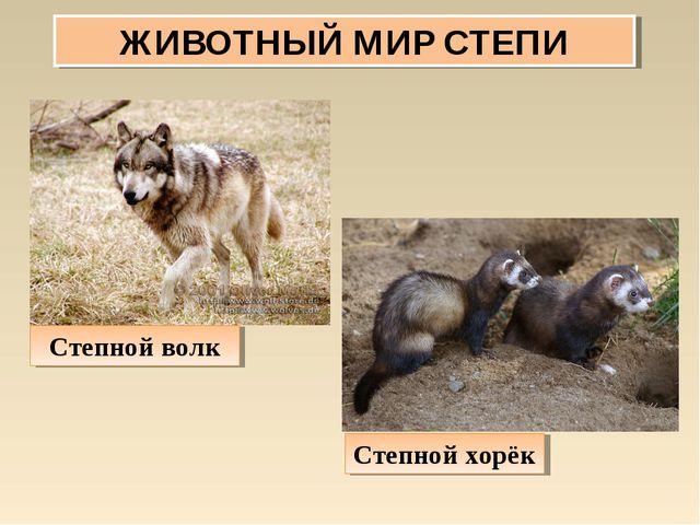 ЖИВОТНЫЙ МИР СТЕПИ Степной хорёк Степной волк