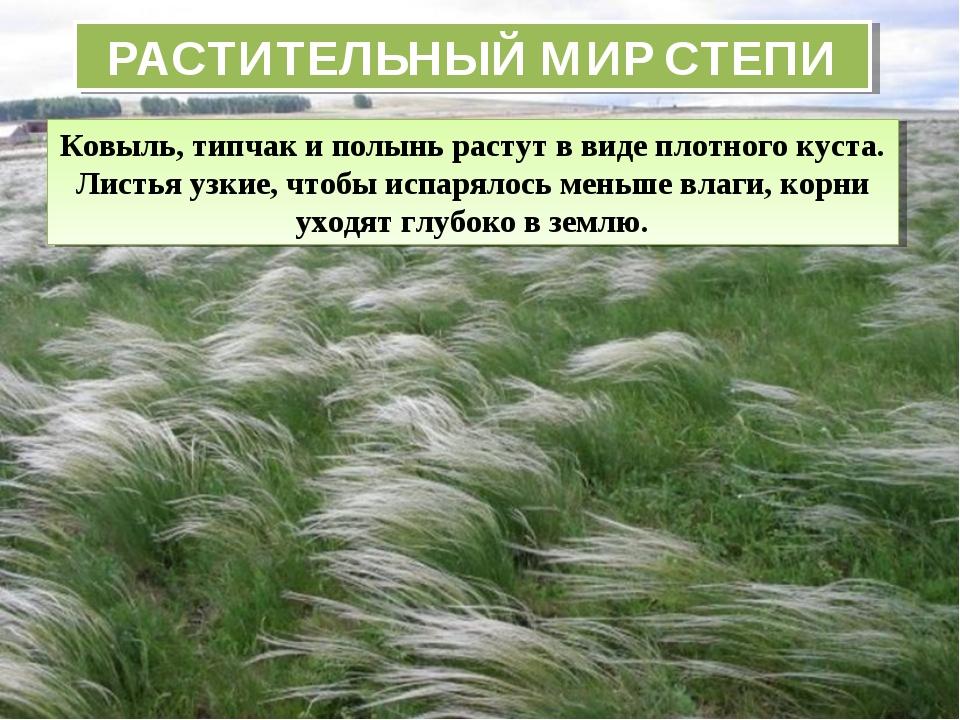 РАСТИТЕЛЬНЫЙ МИР СТЕПИ Ковыль, типчак и полынь растут в виде плотного куста....