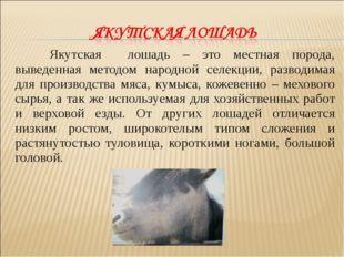 Якутская лошадь – это местная порода, выведенная методом народной селекции,