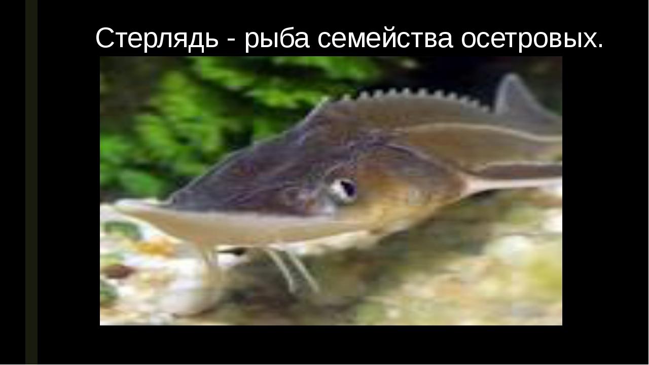 Стерлядь - рыба семейства осетровых.