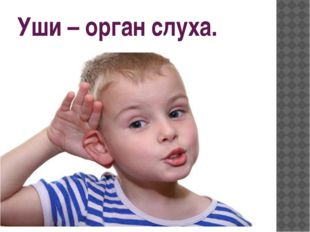 Уши – орган слуха.