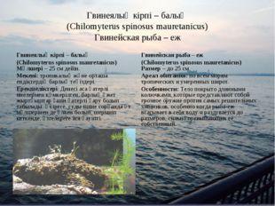 Гвинеялық кірпі – балық (Chilomyterus spinosus mauretanicus) Гвинейская рыба