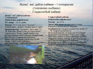 Жазық маңдайлы кайман – қолтырауын (Astronotus osellatus) Гладколобый кайман