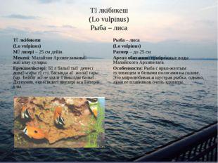 Түлкібикеш (Lo vulpinus) Рыба – лиса Түлкібикеш (Lo vulpinus) Мөлшері – 25 см
