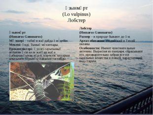Ұзынмұрт (Lo vulpinus) Лобстер Ұзынмұрт (Homarus Gammarus) Мөлшері – табиғи ж