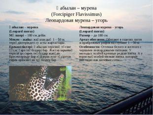 Қабылан – мурена (Forcipiger Flavissimus) Леопардовая мурена – угорь Қабылан