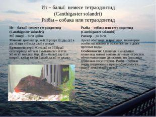 Ит – балық немесе тетраодонтид (Canthigaster solandri) Рыбы – собака или тетр