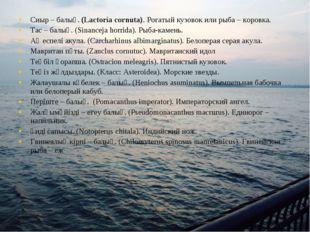 Сиыр – балық. (Lactoria cornuta). Рогатый кузовок или рыба – коровка. Тас – б