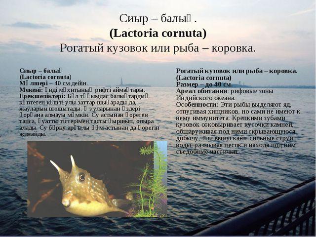 Сиыр – балық. (Lactoria cornuta) Рогатый кузовок или рыба – коровка. Сиыр – б...