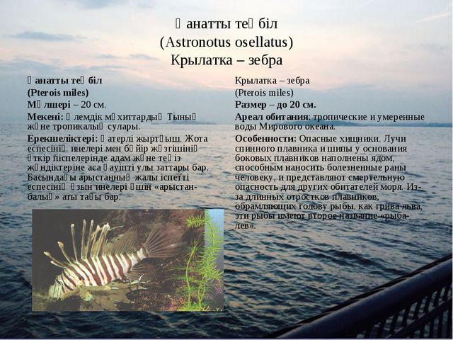 Қанатты теңбіл (Astronotus osellatus) Крылатка – зебра Қанатты теңбіл (Pteroi...