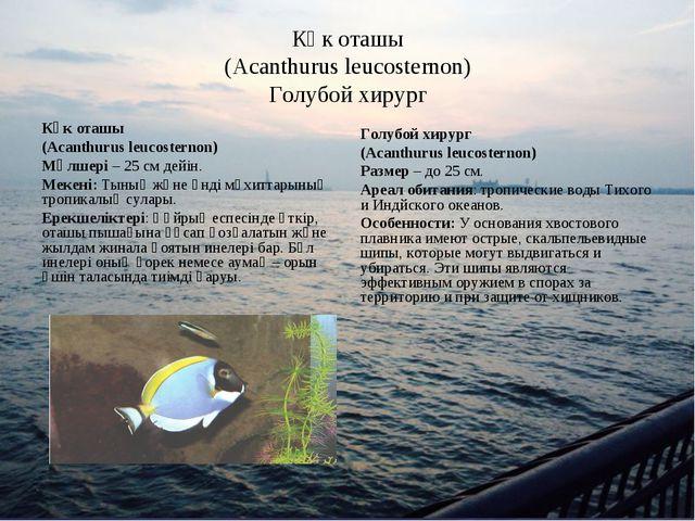Көк оташы (Acanthurus leucosternon) Голубой хирург Көк оташы (Acanthurus leuc...