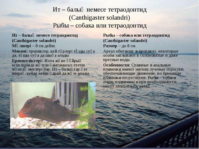 Ит – балық немесе тетраодонтид (Canthigaster solandri) Рыбы – собака или тетр...