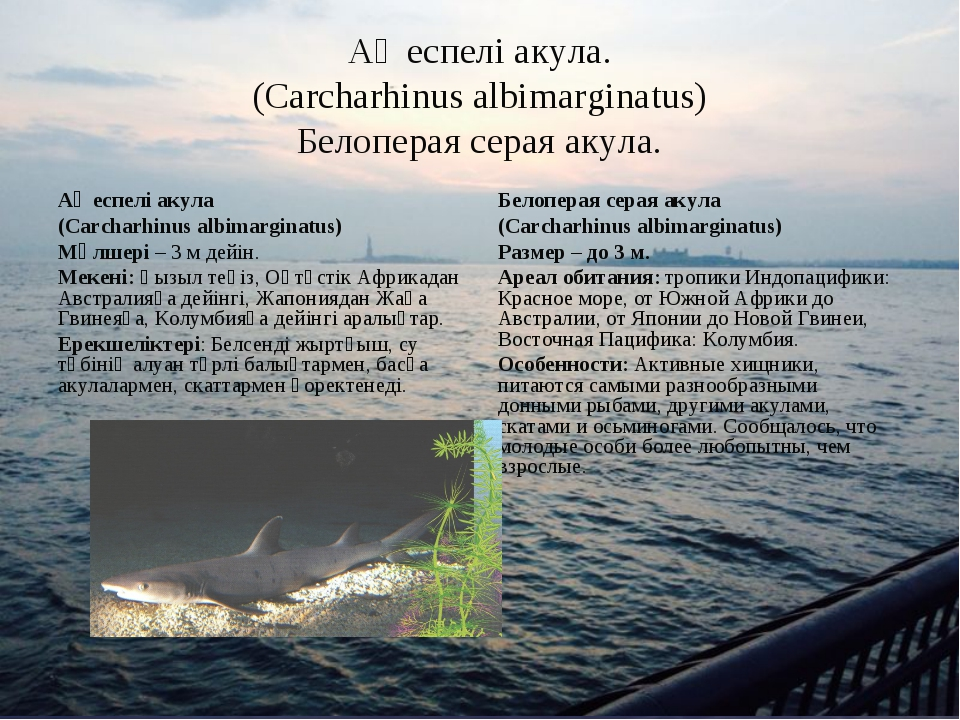 Ақ еспелі акула. (Carcharhinus albimarginatus) Белоперая серая акула. Ақ еспе...
