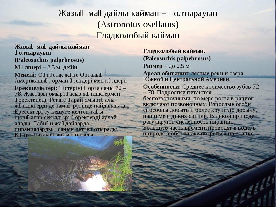 Жазық маңдайлы кайман – қолтырауын (Astronotus osellatus) Гладколобый кайман...