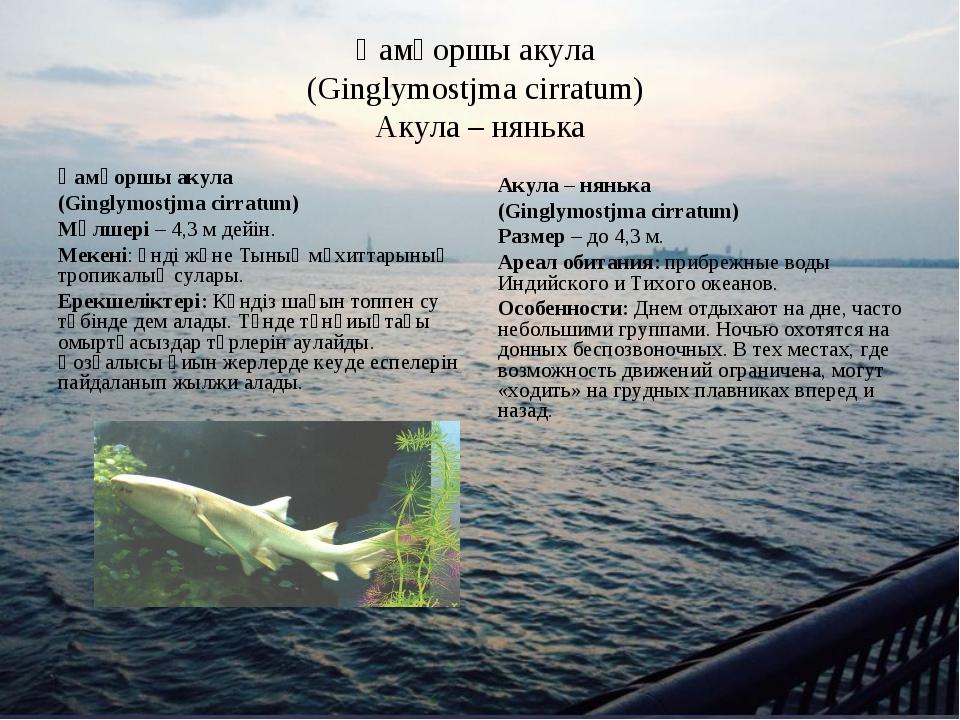 Қамқоршы акула (Ginglymostjma cirratum) Акула – нянька Қамқоршы акула (Gingly...