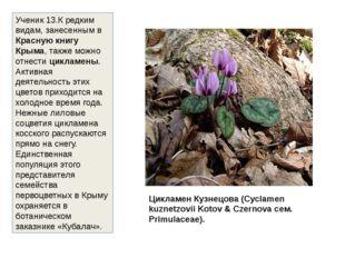 Цикламен Кузнецова (Cyclamen kuznetzovii Kotov & Czernova сем. Primulaceae).