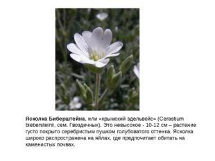 Ясколка Биберштейна, или «крымский эдельвейс» (Cerastium biebersteinii, сем.