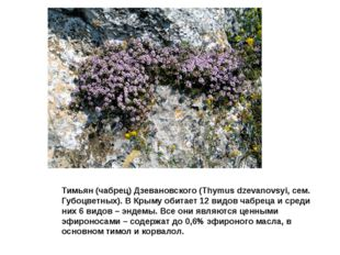 Тимьян (чабрец) Дзевановского (Thymus dzevanovsyi, сем. Губоцветных). В Крыму