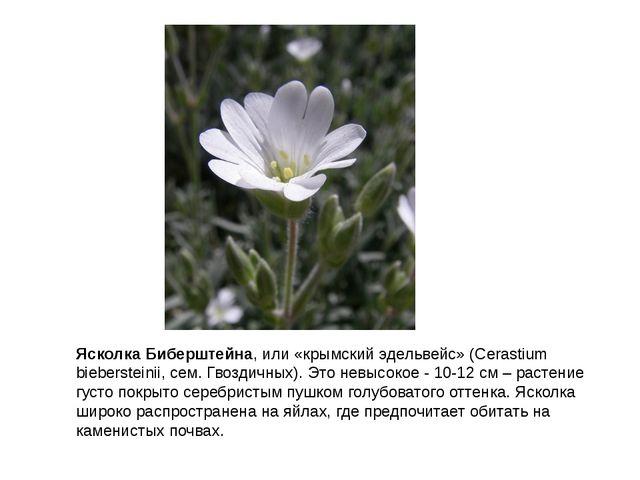 Ясколка Биберштейна, или «крымский эдельвейс» (Cerastium biebersteinii, сем....