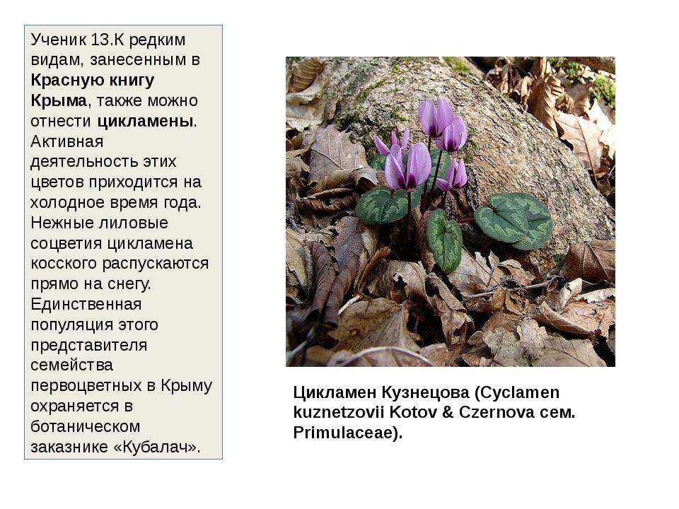 Цикламен Кузнецова (Cyclamen kuznetzovii Kotov & Czernova сем. Primulaceae)....