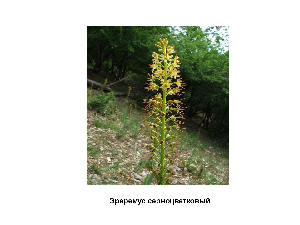 Эреремус серноцветковый