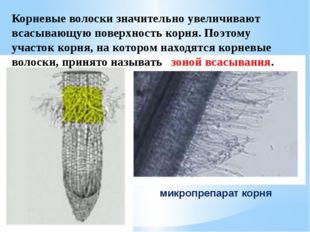 Корневые волоски значительно увеличивают всасывающую поверхность корня. Поэто