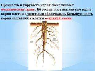 Прочность и упругость корня обеспечивает механическая ткань. Её составляют вы