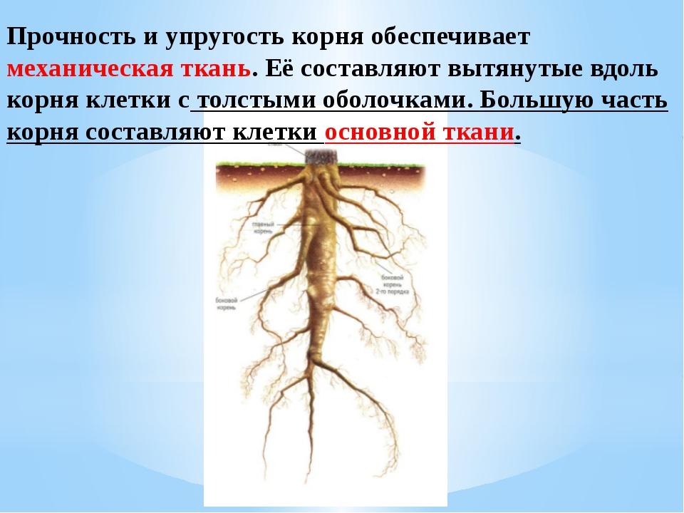 Прочность и упругость корня обеспечивает механическая ткань. Её составляют вы...